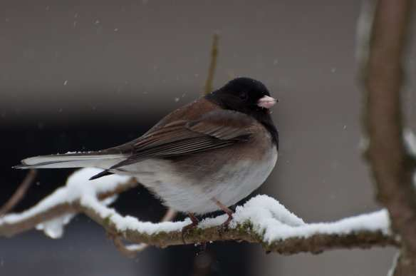 One of the most common birds in Seattle, the Dark-eyed Junco. Credit: Brendan McGarry