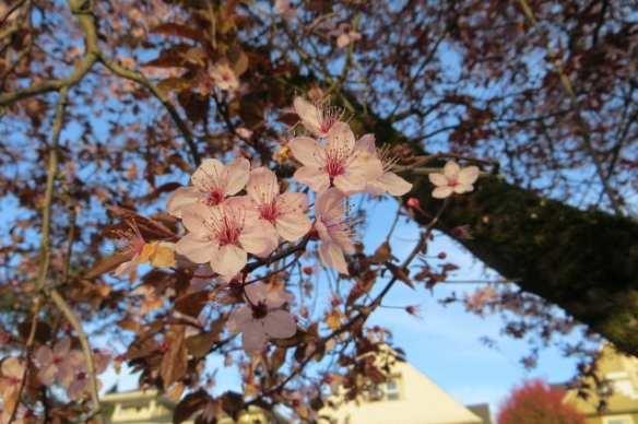 A plum flowering plum (Images: John Chau)