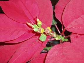 Cyathia of poinsettia (Euphorbia pulcherrima). The female flower is green and 3-lobed. (Image: Wikimedia)