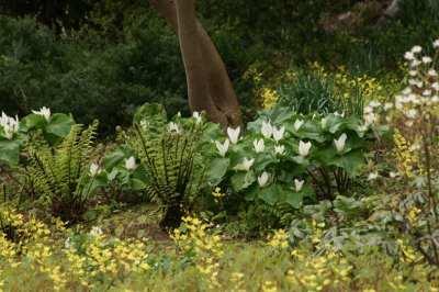 Dryopteris-blanfordii-Trillium-chloropetalum-white-form-RASMillerGarden