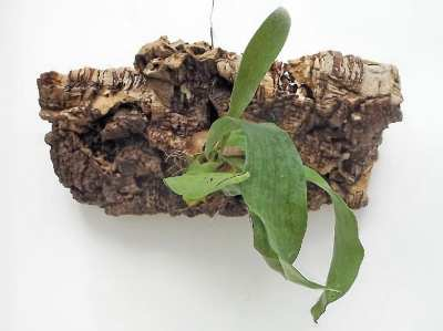 Mount your own Staghorn Fern @ The Works Seattle