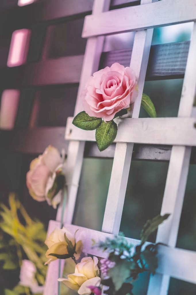 fence rose