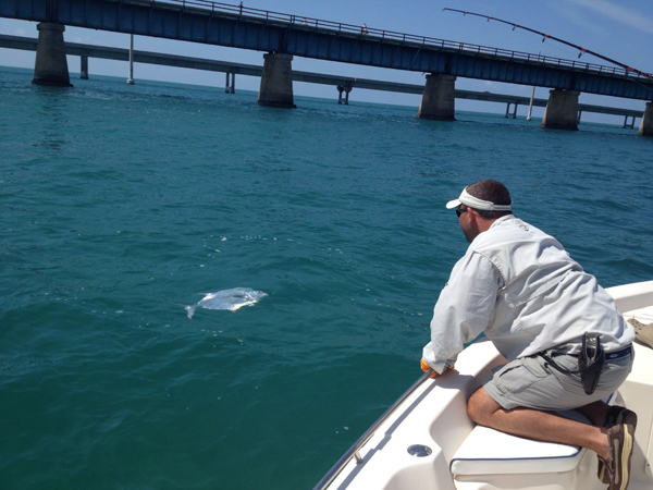 Trophy permit fish coming to the boat caught on a tarpon charter.