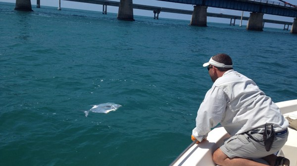 Trophy permit fish coming to the boat. - Captain Doug Kelley