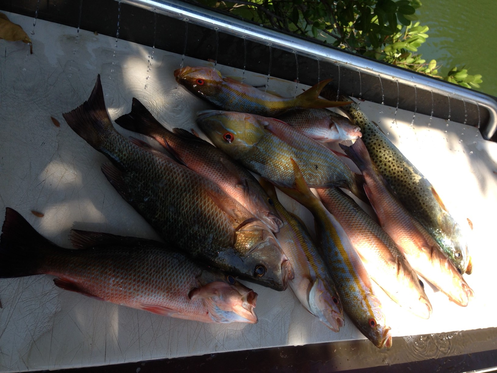 Mixed bag of snapper and sea trout off Marathon in the Fl Keys.