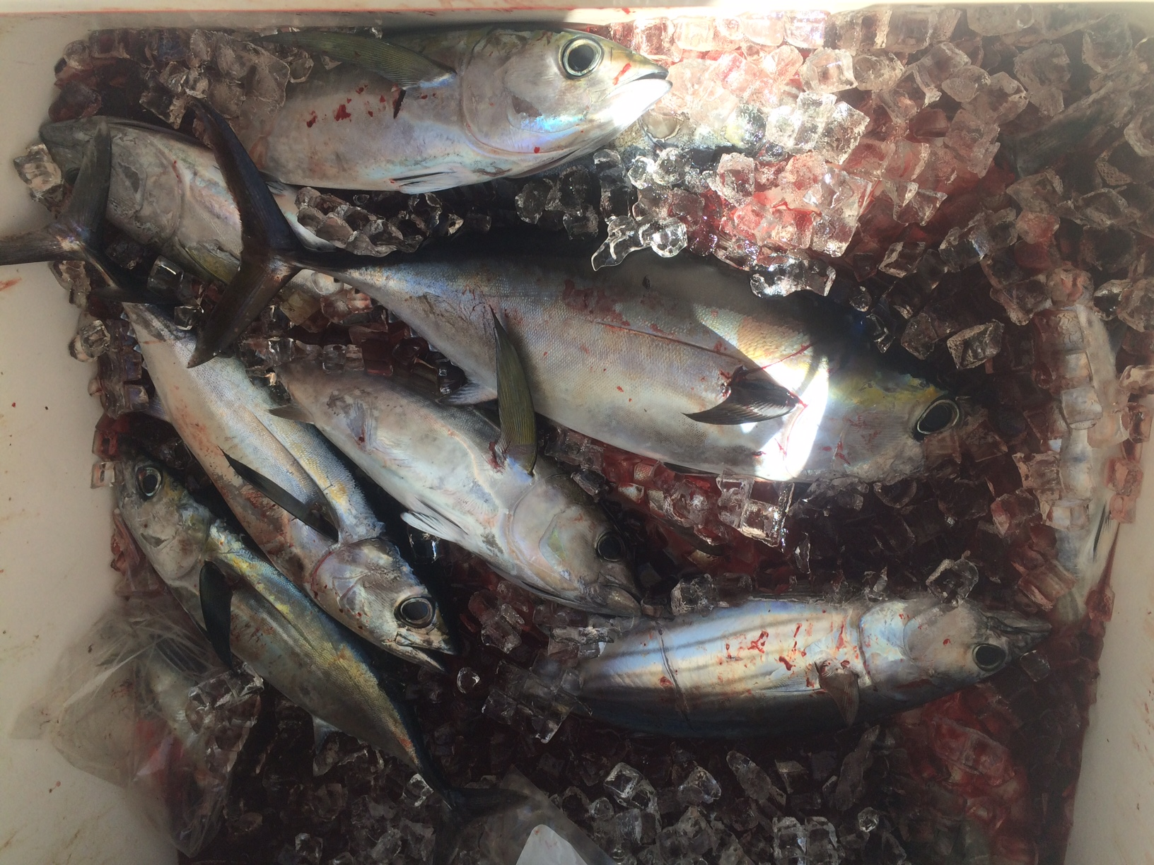 A box full of blackfin tuna after an offshore fishing charter with Capt. Doug is common. Make sure to ask about our special tuna charters.