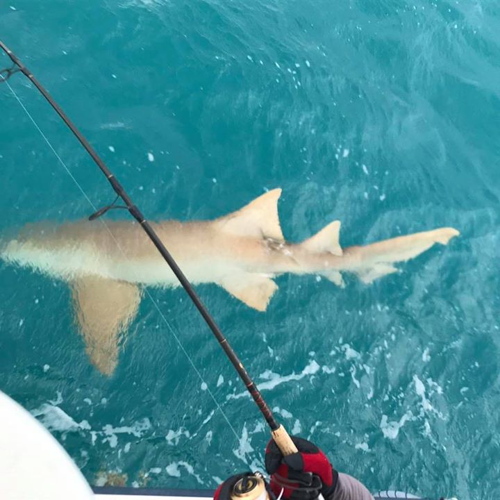 Large nurse shark to add to the trip.