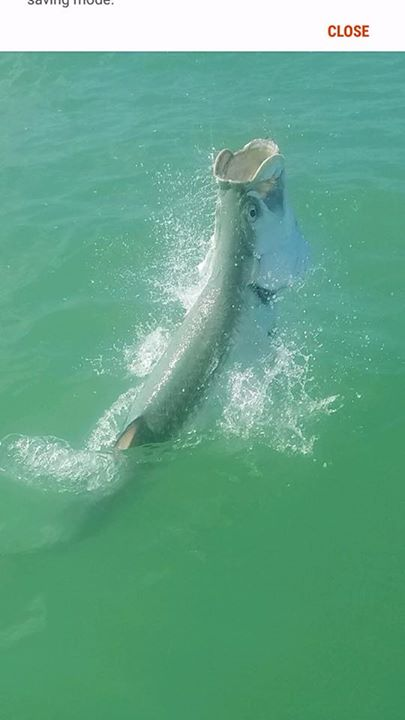 Great day in the bay today! 125lb tarpon along with a few sharks, mackerel and s…