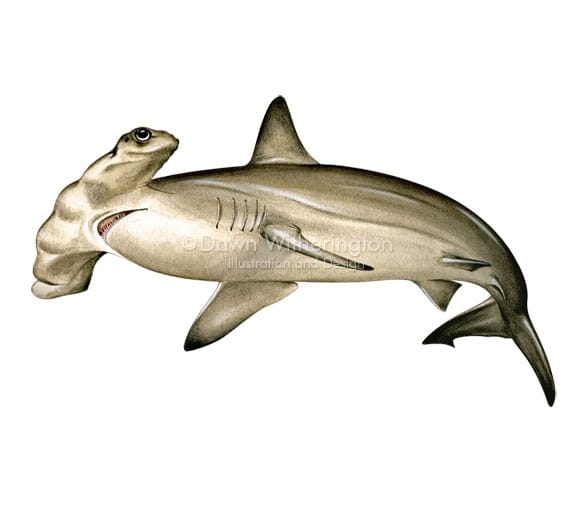 Hammerhead shark, picture from Lemon shark, picture from http://www.drawnbydawn.com