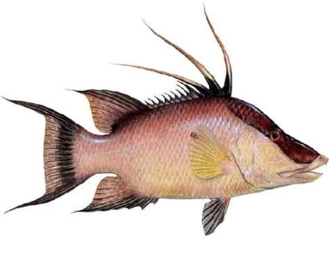 Hogfish, picture from http://www.sarasota-fla-fishing.com/Hogfish.htm