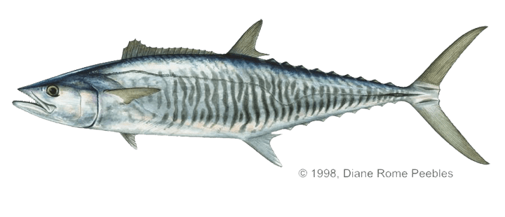King mackerel, picture from http://www.bigfish-mombasa.com/what-will-i-catch.html