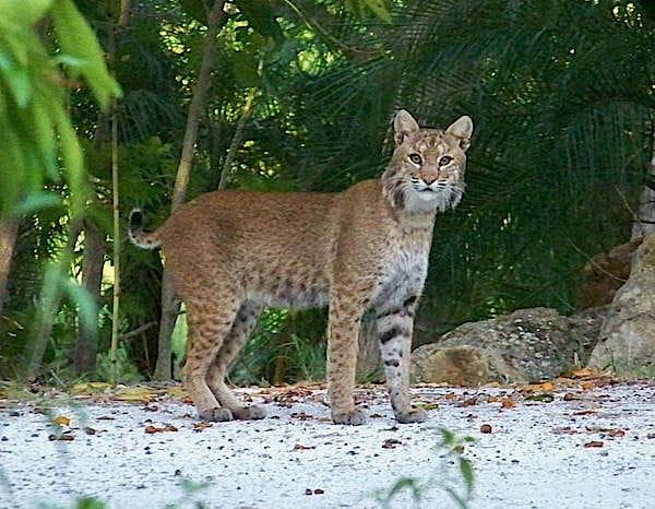 Bobcat, 3-16-14, Captiva, Sanibel & Captiva Islands & Fort Myers Charters & Fishing Guide Service.