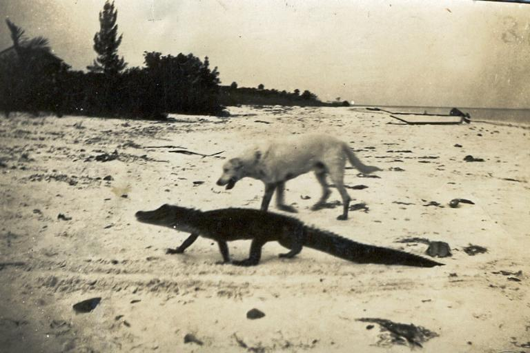 Yellow Lab & Alligator, Captiva Island, Photo Credit - Captiva Historical Society