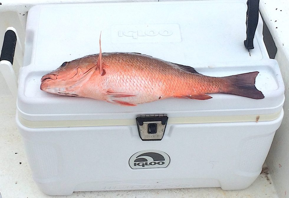 Big, Healthy, Mangrove Snapper, Near Offshore Structure, Catch & Release, Sanibel Fishing & Captiva Fishing, Sanibel Island, Tuesday, January 23, 2018.