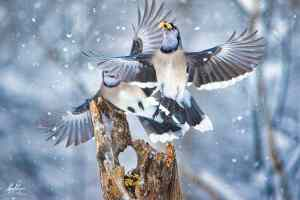 Dancing Blue Jays
