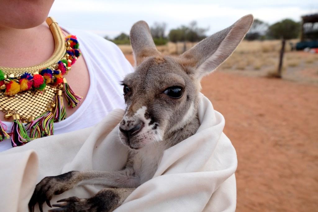 bébés kangourous à alice springs 2