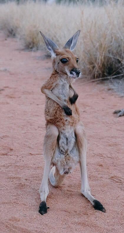 sanctuaire kangourous alice springs 2