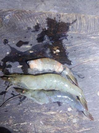 penyebab kematian udang