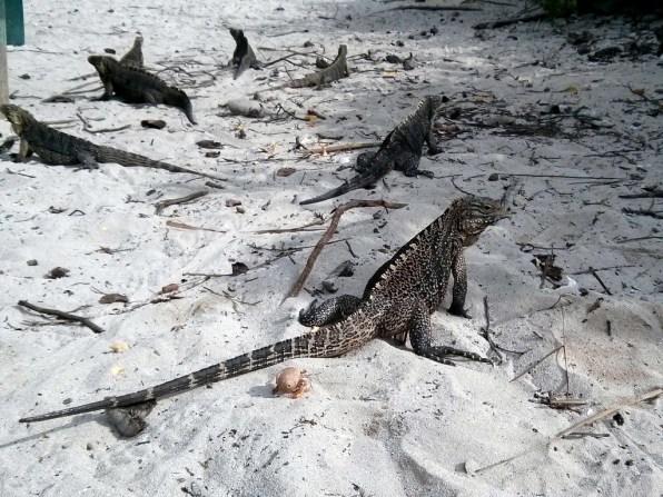Le iguana di Cayo Macho
