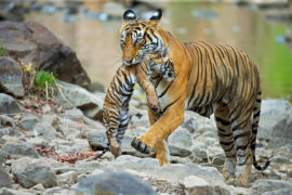 Bengal tiger (Panthera tigris tigris) female 'Noor T39' carrying cub, Ranthambore National Park, India, 01/06/2014. Credit: Nature Picture Library/Alamy Stock Photo.