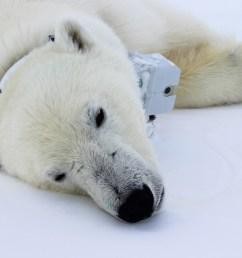 polar bear with tracker around its neck lying down [ 1550 x 1033 Pixel ]