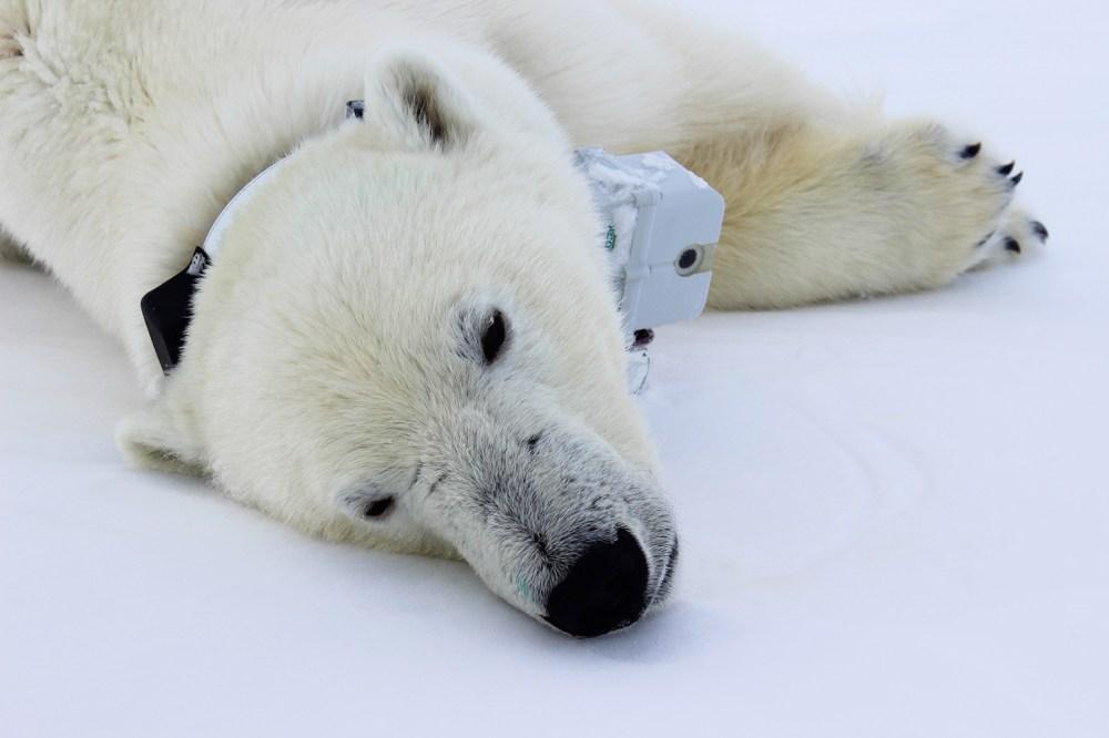 medium resolution of polar bear with tracker around its neck lying down