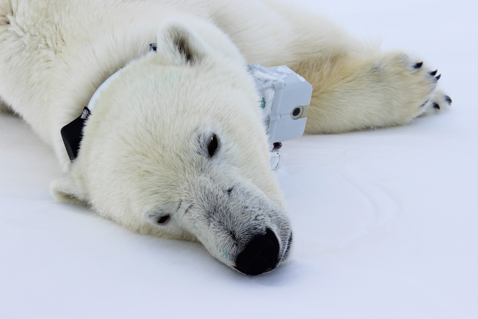 hight resolution of polar bear with tracker around its neck lying down