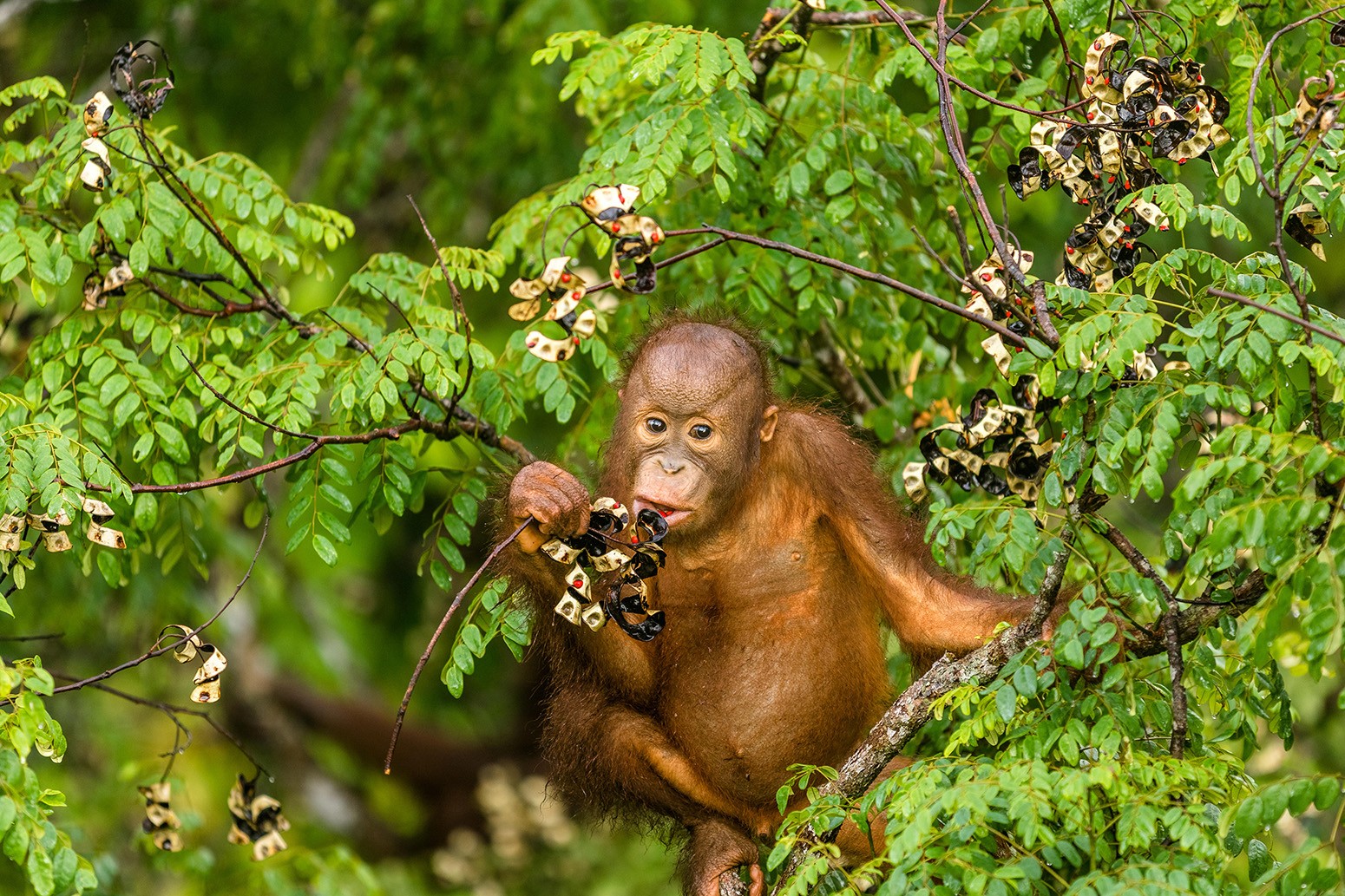 This Wild Young Male Orangutan Is Climbing The Rainforest