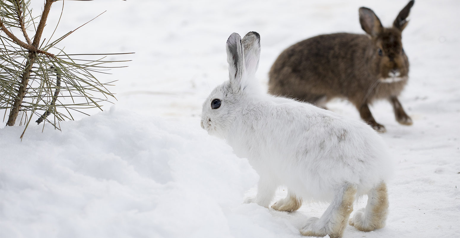 animals with white winter