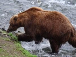 SUMMER ADVENTURES: Brooks Camp and Bears, Bears, Bears