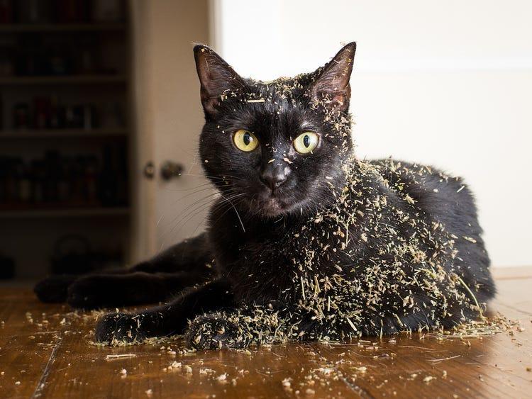 what is catnip