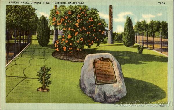 Parent Navel Orange Tree Riverside Ca