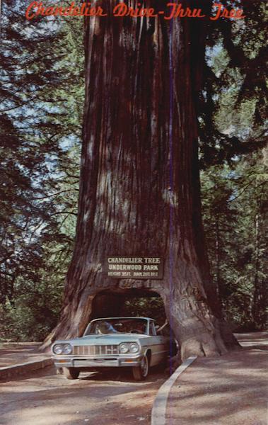 Chandler DriveThru Tree Mendocino County CA