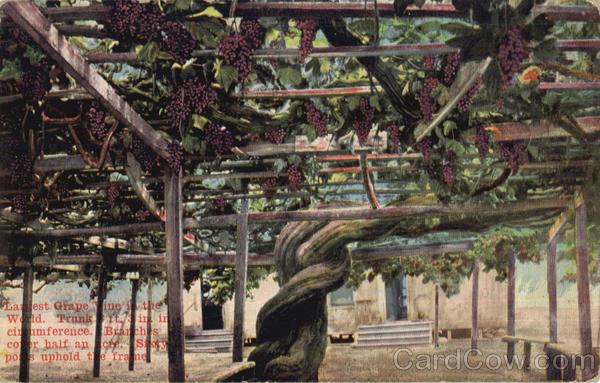 Largest Grape Vine In The World Scenic CA