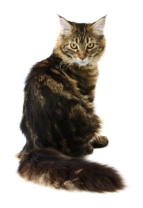 Maine Coon  CareALot Pet Supply