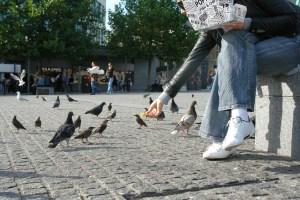 pigeon birds fine