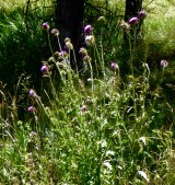 Musk Thistle Mature