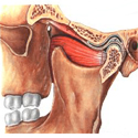 picture of jaw anotomy
