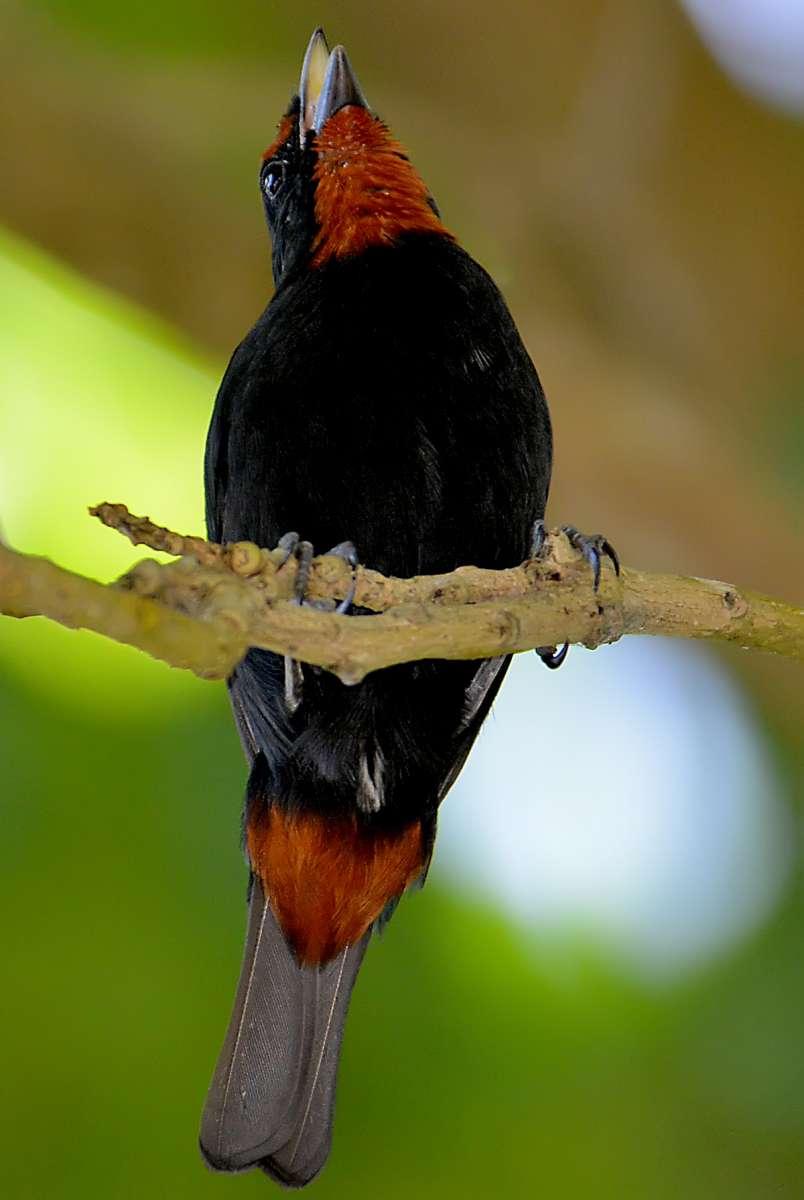 Lesser Antilliean Bullfinch