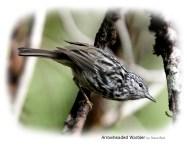 Arrowhead Warbler by Steve Bird.