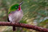 Narrow-billed Tody