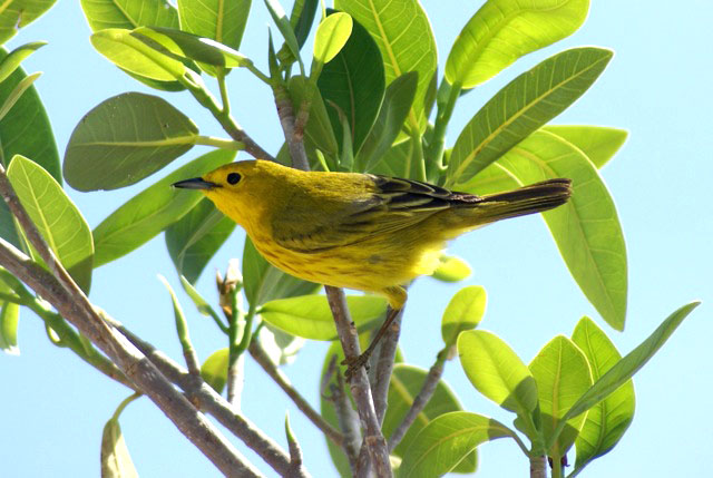 Yellow Warbler (Photo by Linda Huber)