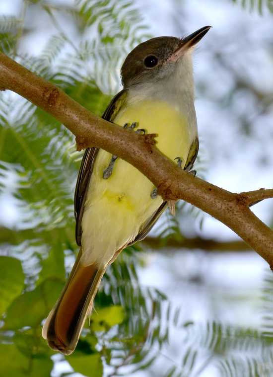 Grenada Flycatcher
