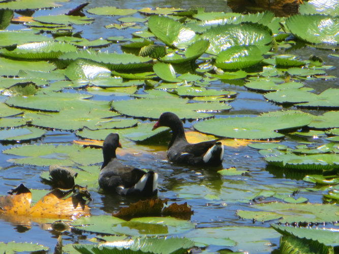 Common Gallinule (Photo by Aly DeGraff)