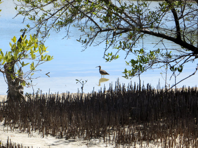 Whimbrel in the Lagoon (Photo by Aly DeGraff)