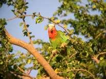 Bahama Parrot