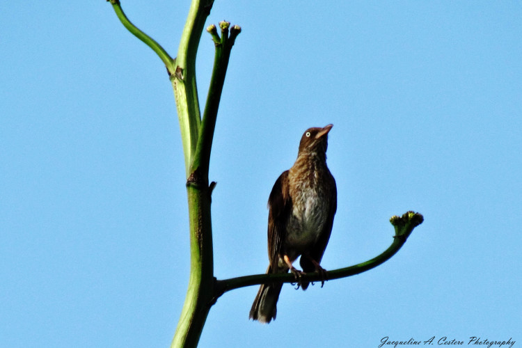 Pearly-eyed Thrasher (Photo by Jacqueline A. Cestero)