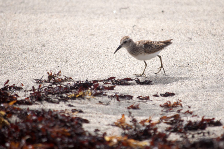 Least Sandpiper (Photo by Hannah Madden)