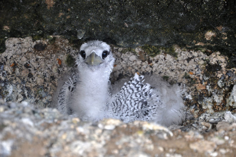 Red-billed Tropicbird Chick (Photo by Hannah Madden)