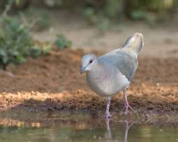 White-tipped Dove_Dennis W Donohue